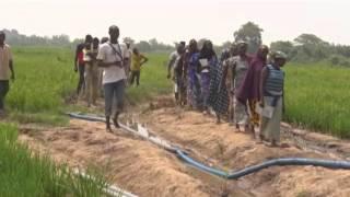 Rice Irrigation Farming In Nigeria