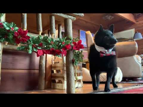 Darling Dogs Deck the Halls for Christmas
