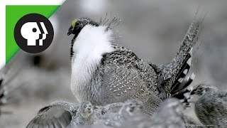 Sage-Grouse Mating Rituals in Groups Called Leks