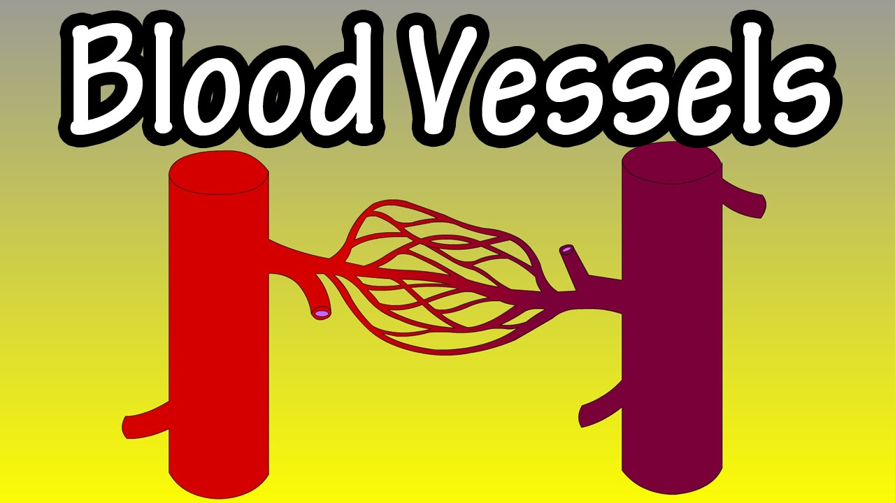 Blood Vessels In The Body What Are Blood Vessels Functions Of