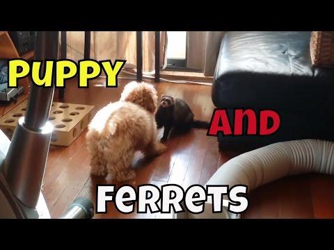 Puppy And Ferrets - Cute Animals Inside 3 - VOL. 27