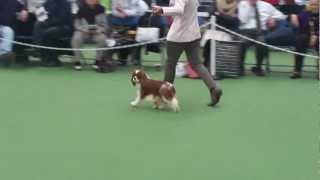 Cavalier King Charles Spaniel Club Show Uk  02.03. 2013