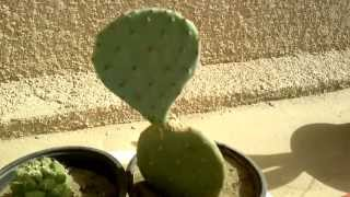 opuntia collection