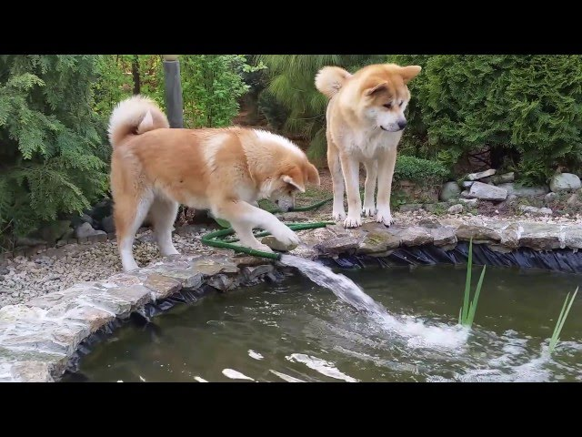 Japanese Akita Inu play with the mysterious water jet