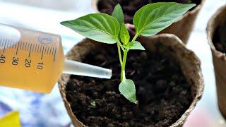 Хотите мощную рассаду и супер урожай перца Делайте так в марте апреле с рассадой перца
