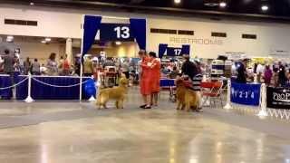 Houston World Series Dog Show-golden Retriever
