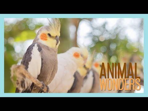 Cockatiels! What, Where, How