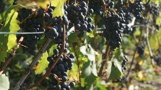 W filmie pokazuję krok po kroku jak zrobić wino gronowe. Więcej szc...