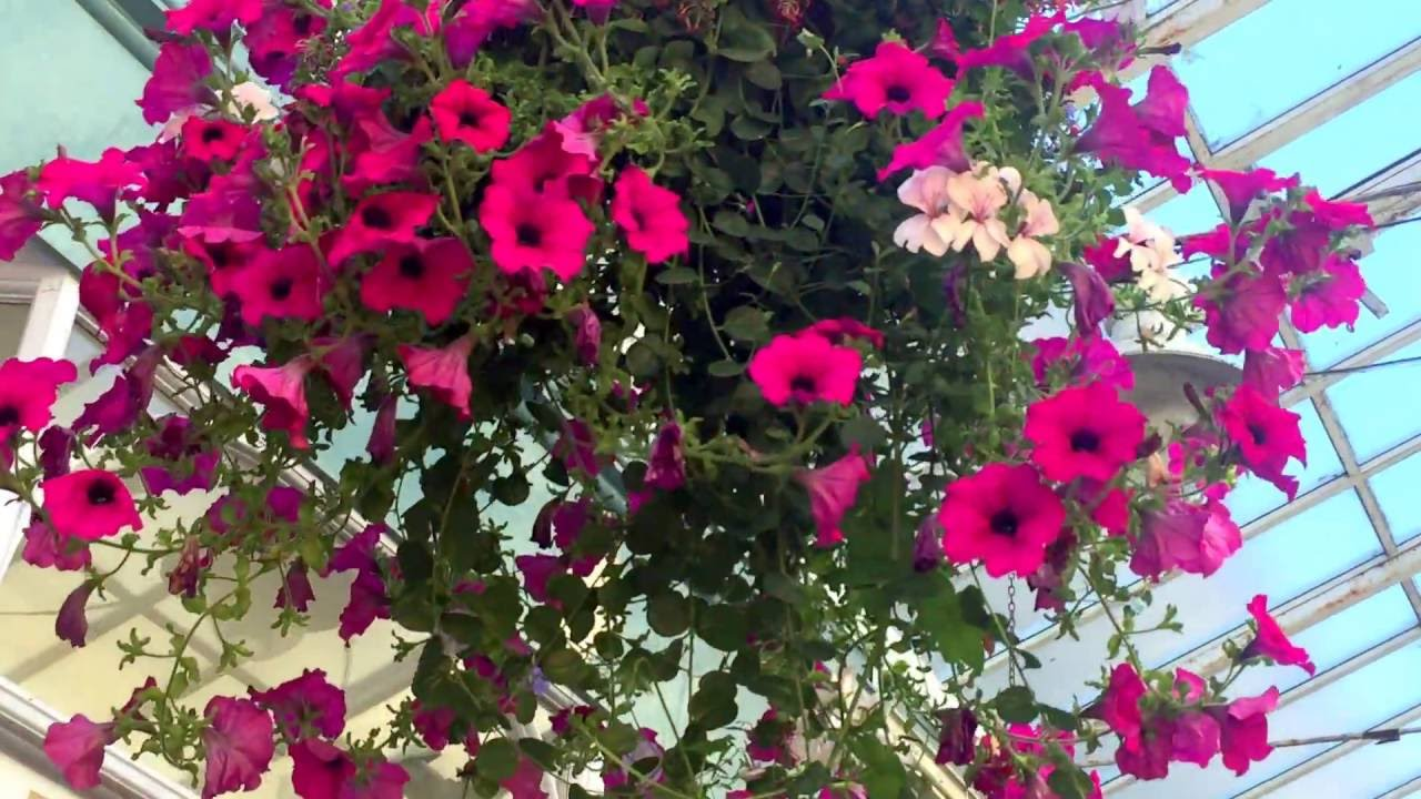 Pink And White Petunia Flowers Hanging Baskets For Indoor Garden
