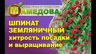 Шпинат Земляничный - ХИТРОСТЬ ПОСАДКИ и ВЫРАЩИВАНИЕ
