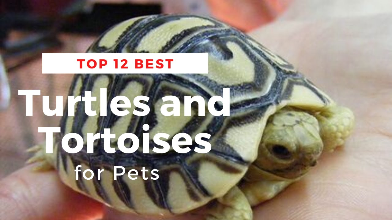 Top 12 Best Turtles and Tortoises for Pets