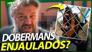 É ASSIM QUE ELES TRATAM OS DOBERMANNS? | EP.2 | INSTRUÇÕES E MANEJO
