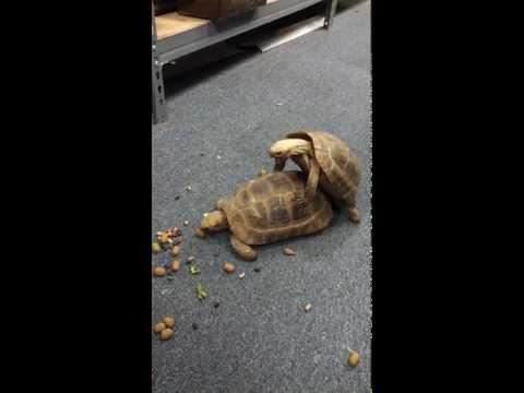 Elongated Tortoise (Indotestudo elongata) getting their freak on