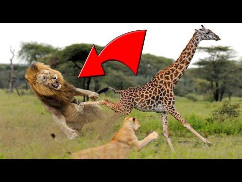 حداري من غضب الزرافة - الأسود تهرب خوفا من ضربة الزافة القاتلة