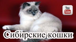 Кошки сибирской породы