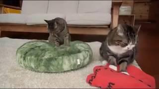 Коты взбивают подушки.