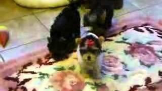 Parti Color Yorkshire Terrier Akc