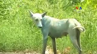 Օդի ամենաբարձր աղտոտվածություն ունեցող երկրներից մեկի՝ Հնդկաստանի կապույտ շները
