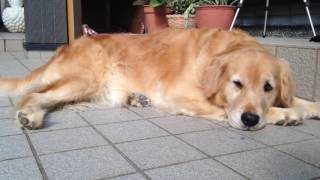 The golden retriever Alia is happy. so, relax time. she is very ver...