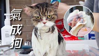 短腿貓不願洗澡氣噗噗學狗咬人機智主人用毛巾蒙住貓頭立馬變乖| 李喜貓