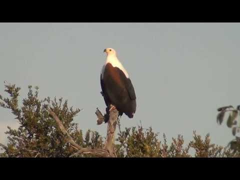 Fish Eagle Call