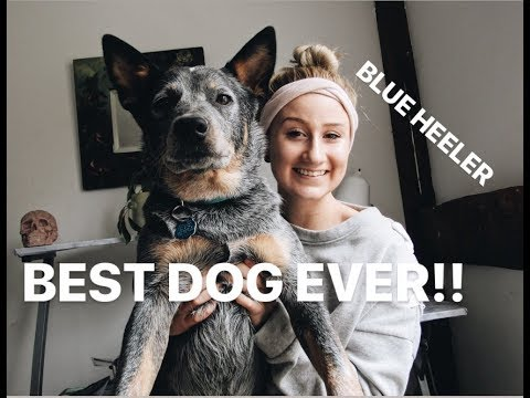 AUSTRALIAN CATTLE DOG: EVERYTHING YOU NEED TO KNOW ABOUT BLUE HEELERS