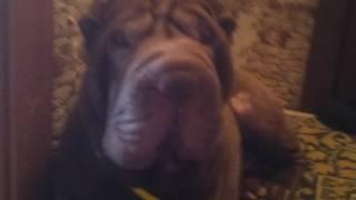 Шарпей моя собака ура!!!!!