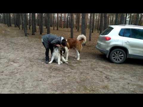 Главная Пиренейская горная собака, есть щенки