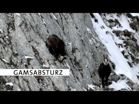 Gamsabsturz (Bf-Revier Altaussee)