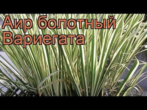 Аир болотный Вариегата (acorus Variegata) 🌿 аир Вариегата обзор: как сажать рассада аира Вариегата