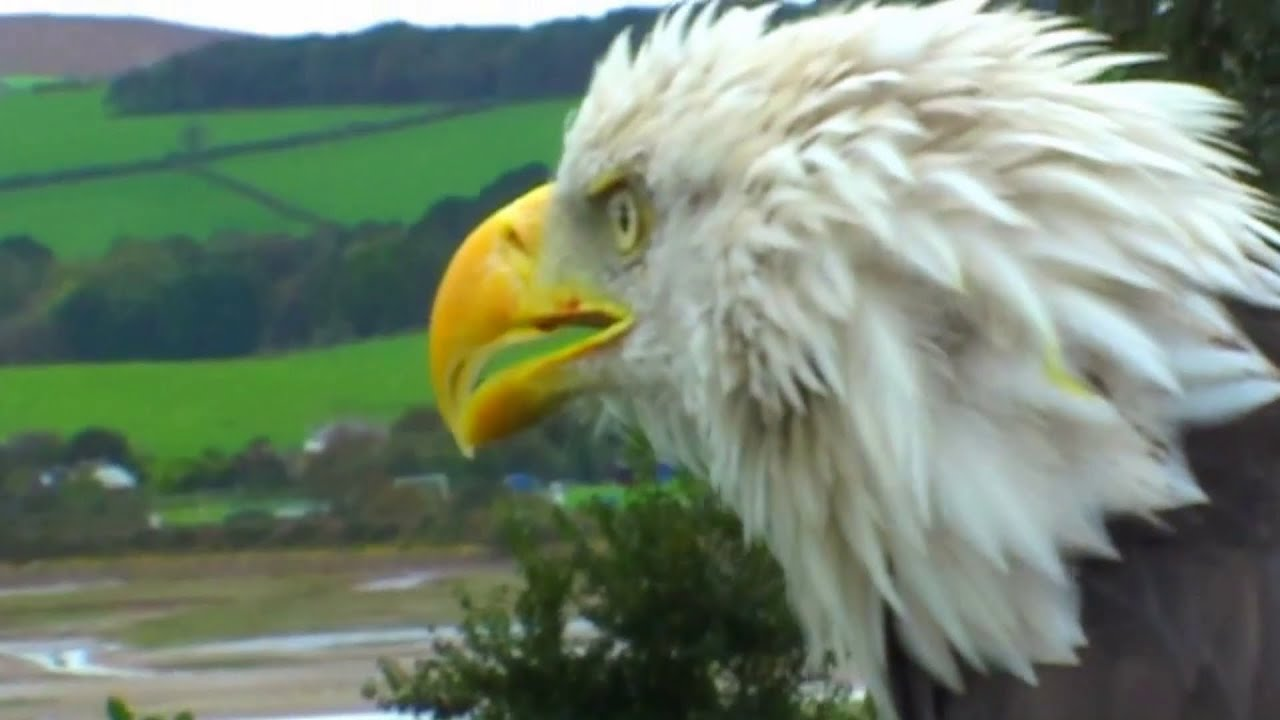 American Bald Eagle Close Up Youtube