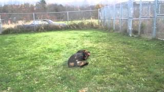 Penn - 3 Yr Rottweiler For Adoption In Nh