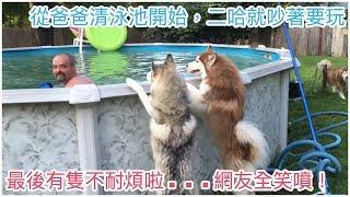 從爸爸清泳池開始,二哈就吵著要玩,最後終於有隻不耐煩啦....網友全笑噴!