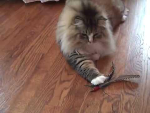 Kaerik RagaMuffin Cat for Adoption