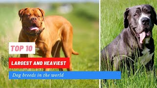 Top 10 largest and heaviest dog breeds in the world