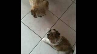 Adult Shih Tzu Playing With Puppy