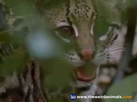 ocelot - facts about ocelots