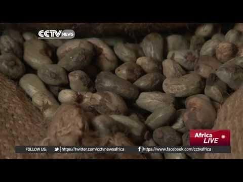 Falling cashew exports bad for Guinea Bisau