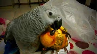 Cute Birds 😅🐦Funny Parrots Doing Funny Things (Full) [Funny Pets]