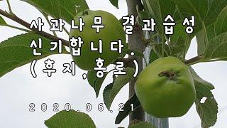 사과나무키우기 3년차(#23)사과나무 결과습성 신기합니…