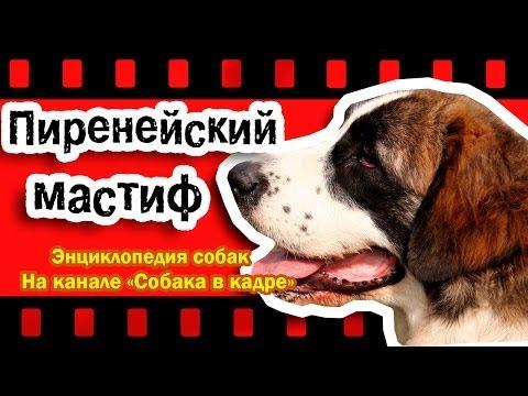 Пиренейский мастиф (Молоссы). Энциклопедия пород собак.