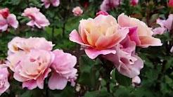 Portland Rose Garden 2016