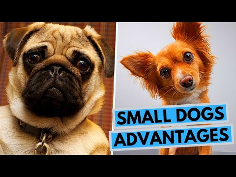 TOP 10 Advantages of Owning a Small Dog