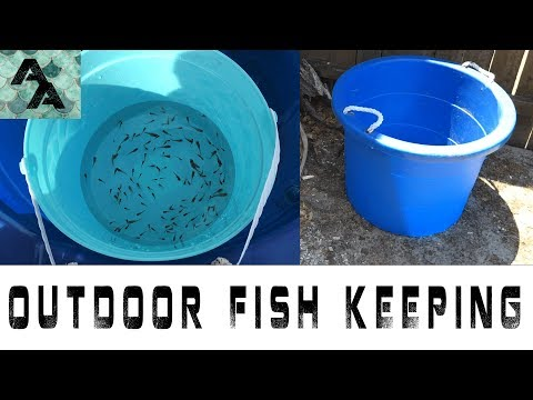 The outdoor fish tank aka the mini pond   Guppy fry everywhere