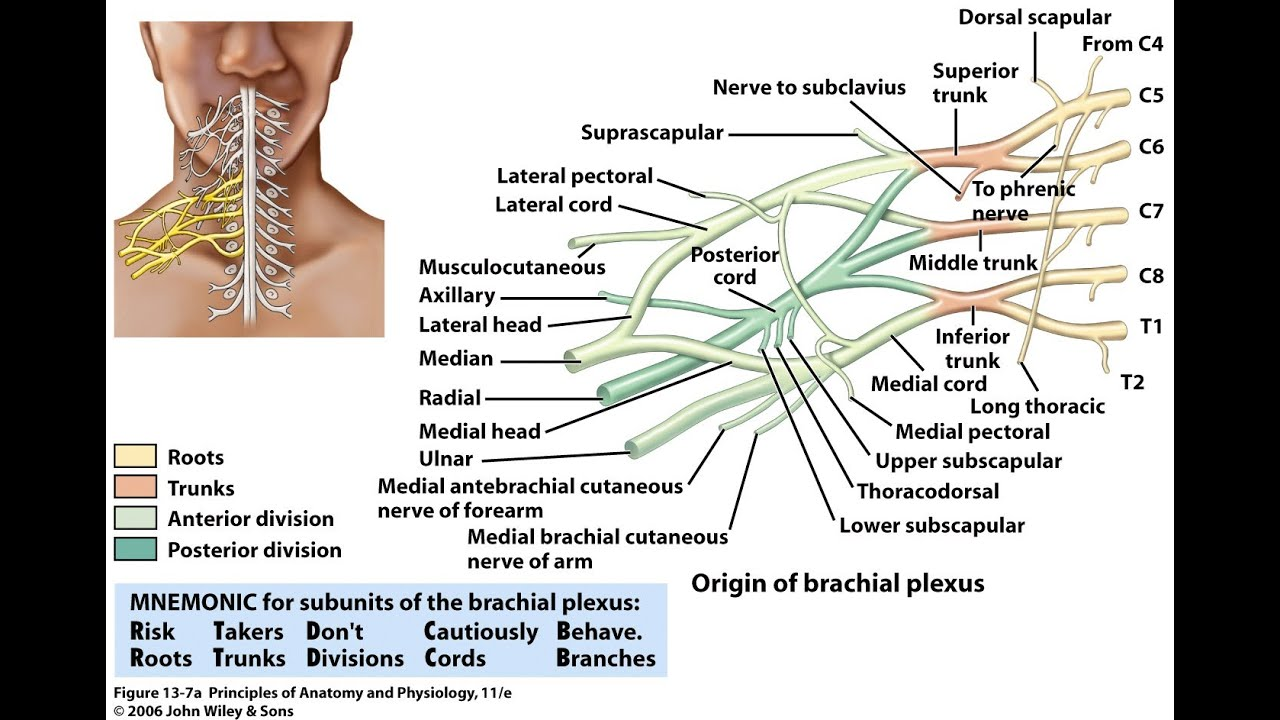 Diagram Posterior Brachial Plexus - All Kind Of Wiring Diagrams •