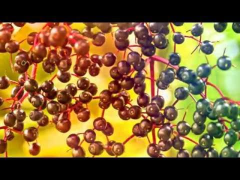 БУЗИНА ПОЛЬЗА И ВРЕД | сок бузины польза, можно ли есть ягоды бузины, бузина рецепты