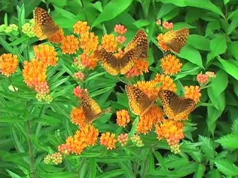 Butterflies love herbs