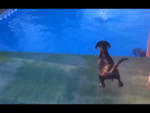Puppy Dock Jumping Training Video - Puppy Dock Diving - Will He Jump? | SitMeansSit.com