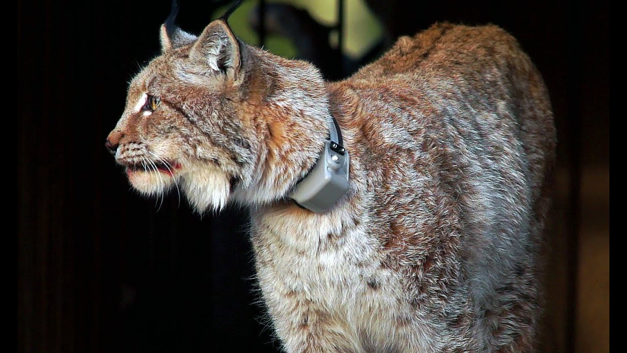 GPS-ошейник для рыси. Lynx. GPS-tracking Collars.