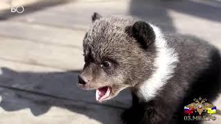 В Бурятии полицейские спасли двух медвежат